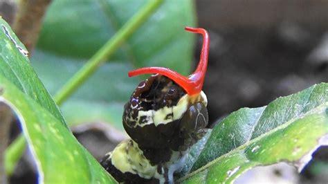giant swallowtail caterpillars aka orange dog papilio