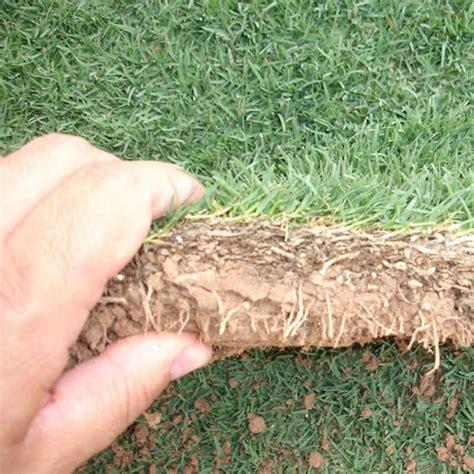 Jual Benih Rumput Bermuda jual benih rumput bermuda rumput golf bermuda grass