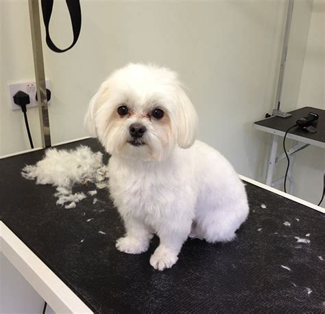 Maltipoo Haircuts Grooming | maltipoo haircuts google search puppy love pinterest