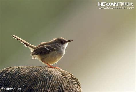 Harga Pakan Burung Ciblek racikan rahasia pakan burung ciblek agar cepat gacor