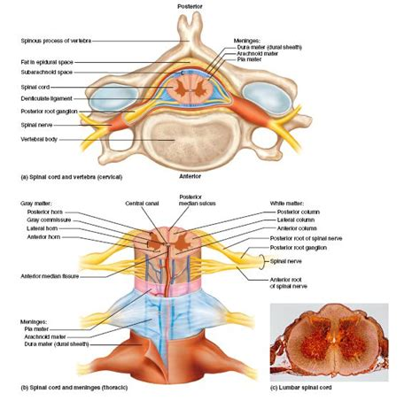 nerve damage after c section cross sectional anatomy of the spinal cord a