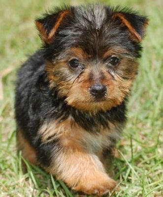 adorable yorkie puppies for adoption two and adorable yorkie puppies for adoption