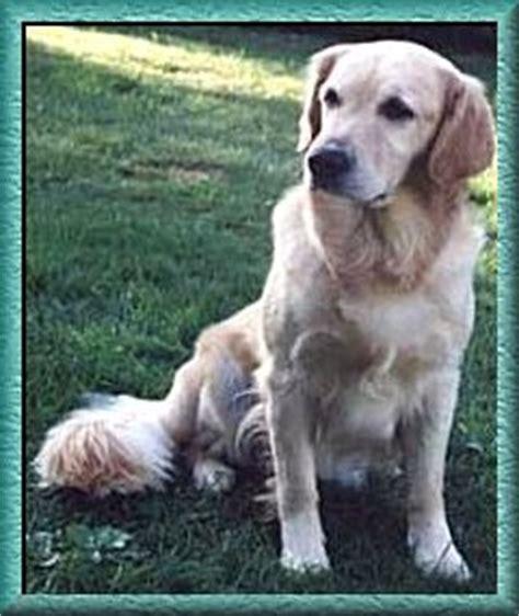 mardovar golden retrievers electralon golden retrievers golden retriever obedience golden retriever agility puppy