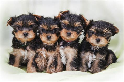 how much should a yorkie puppy eat terrier welpen at dogs in our photo