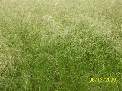 images of love grass weeping lovegrass eragr 243 stis c 250 rvula seed for sale