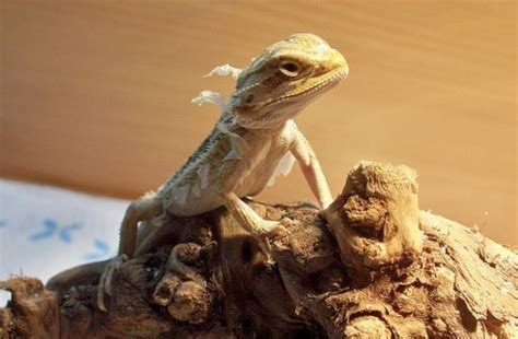 how often do bearded dragons go to the bathroom bearded dragon shedding process what to expect