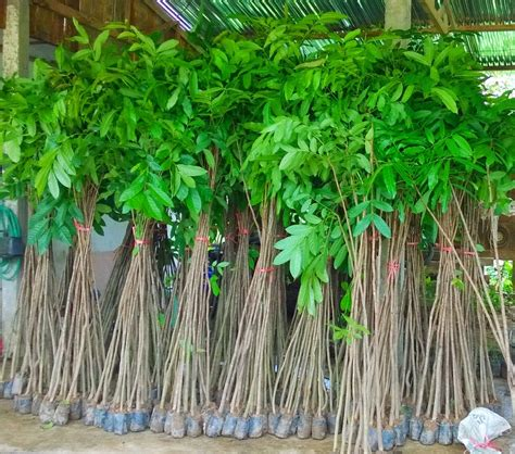 Bibit Bunga Tanjung bibit tanaman murah jual pohon mahoni di kediri