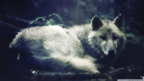 imagenes de lobos en 4k wallpapers de lobos taringa