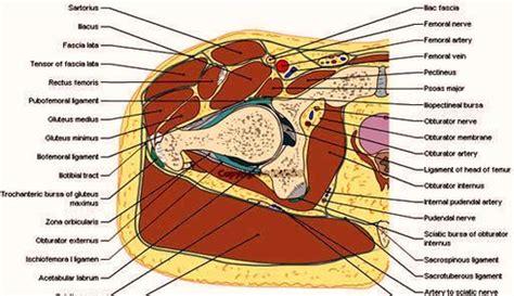 human body cross section cross section human body hip thigh