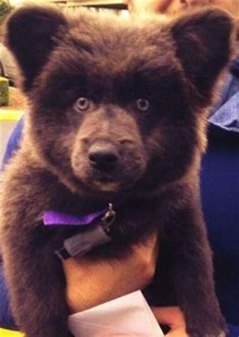 puppy that looks like a cub my teddy bears on bears polar bears and brown bears