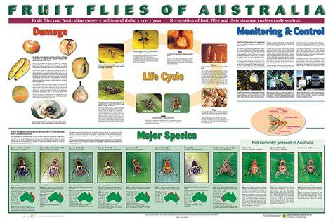 fruit flies of australia posters 2 poster set