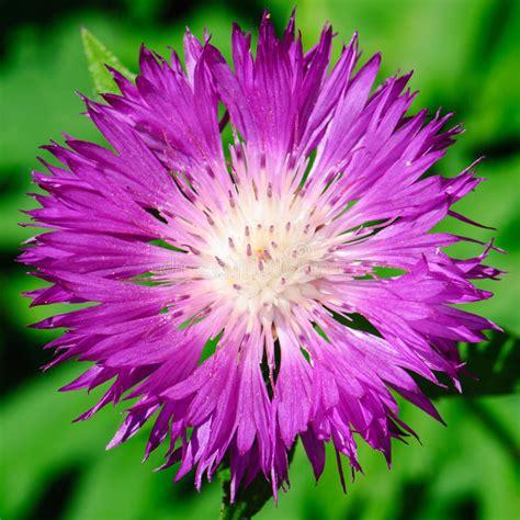 fiordaliso fiore foto fiore fiordaliso della calce fotografia stock
