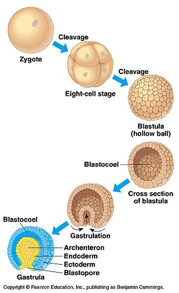 blastula diagram gastrula