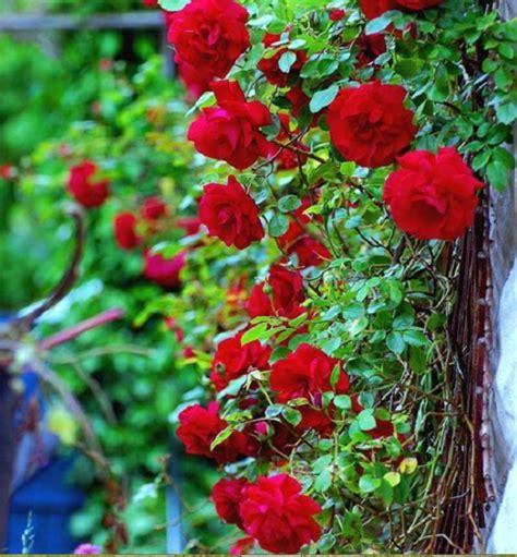 Tanaman Hias Mawar Segala Warna macam macam tanaman bunga merambat yang paling diminati bibitbunga