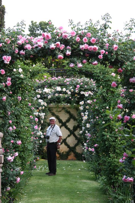 how to plant climbing roses climbing roses ludwigs rosesludwigs roses