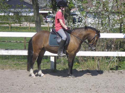 welsh section c temperament welsh pony af cob type sec c ll lundsg 229 rds jeppe 2007