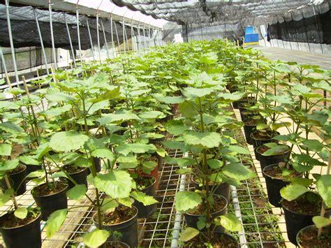 Minyak Nilam nilam pogostemon cablin herba semulajadi malaysia