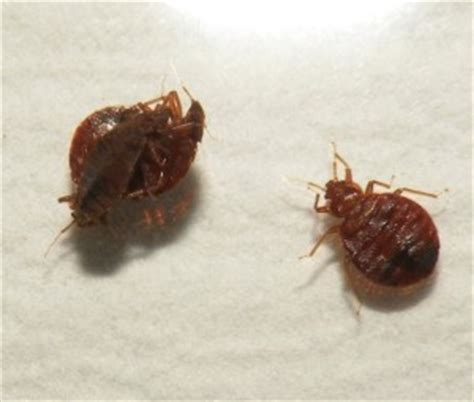 big bed bugs pest control in omaha and lincoln pest solutions 365