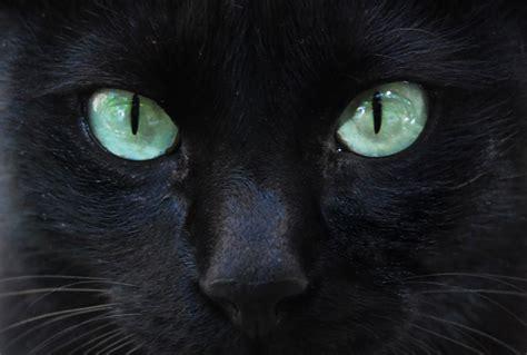 imagenes de ojos verdes de gatos ojos de gatos negros imagui