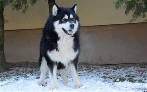 Malamute Shedding by Alaskan Malamute Breed Breed Information Pictures