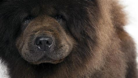 chow chow breed chow chow breed selector animal planet