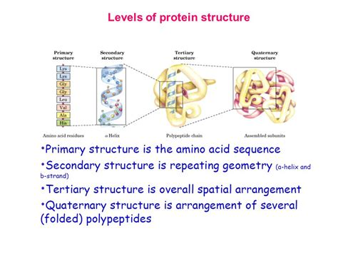 4 protein structure levels chapter 3 protein structure ppt