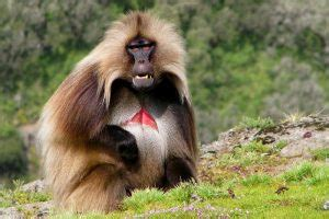 gelada baboon facts habitat behavior lip flip pictures