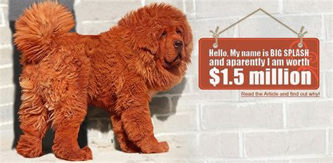 most expensive dog house in the world worlds most expensive dog tibetan mastiff alux com