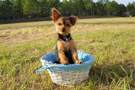teacup yorkie poo puppies sale teacup yorkie poo puppies in florida by floridapups on deviantart