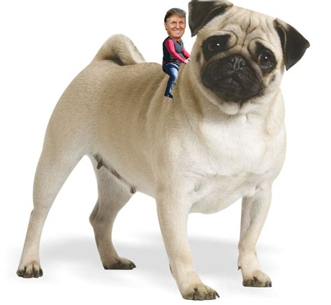 search pugs pug images search
