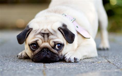pug boy names 70 most popular pug names