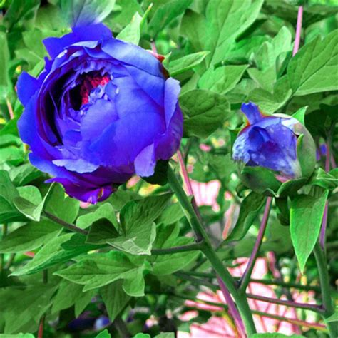 Peony Korean Bag 1 flower garden seeds picture more detailed picture about peony flower garden seeds china s