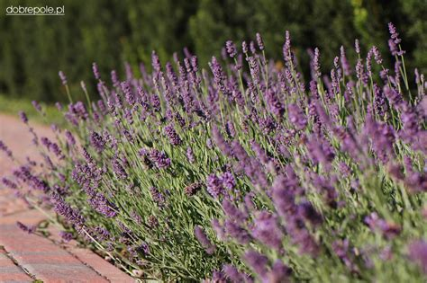 related keywords suggestions for lavender angustifolia