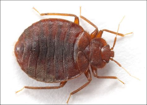 picture bed bug anatomy of bed bugs bed bugs com