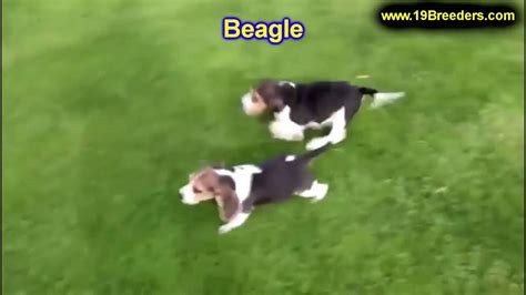 dogs for sale in alaska beagle puppies dogs for sale in anchorage alaska ak 19breeders fairbanks knik