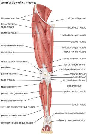 leg muscles diagram stock illustration the anterior view of the muscles of