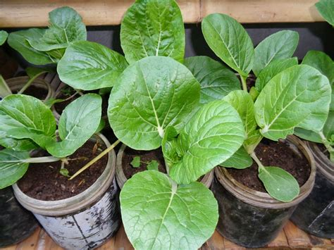 simply homebased mom the practical filipina gardening planting pechay in pots