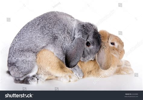 animal mating rabbit cat bunny cat mate pair mini lop ear rabbits mating stock photo 6342880