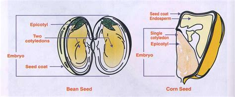 section 24 2 seed development and germination october 2010 712sciyesprep s blog