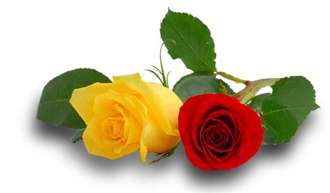 colors and what they colors of roses and what they to miss