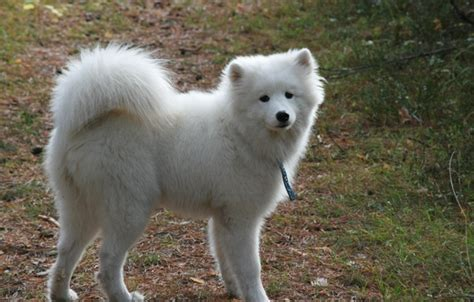 Kawaii Fluffy Dogs Iphone Dan Semua Hp wallpaper background dogs samoyed walk fluffy white images for desktop section