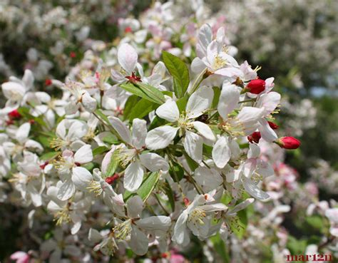 japanese flowering shrubs japanese flowering crabapple malus floribunda