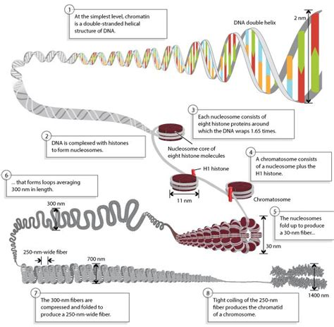 chromatin diagram dna structure compacting into chromosomes scitable