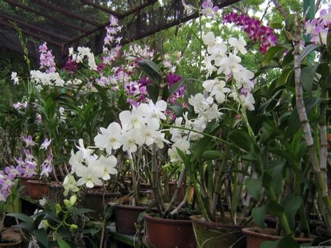file orchid plants jpg wikipedia