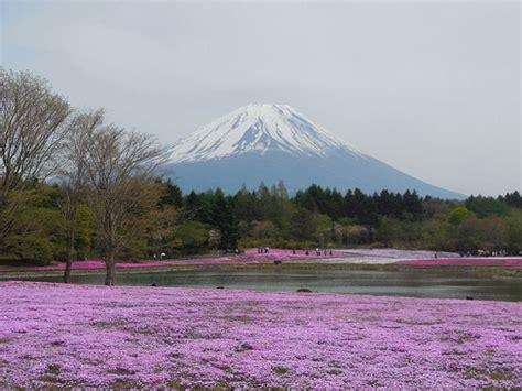 Karpet Gunung festival shibazakura info liburan dan wisata di jepang