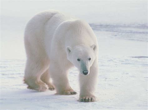 Bbbear Polar polar wallpapers animals wiki pictures
