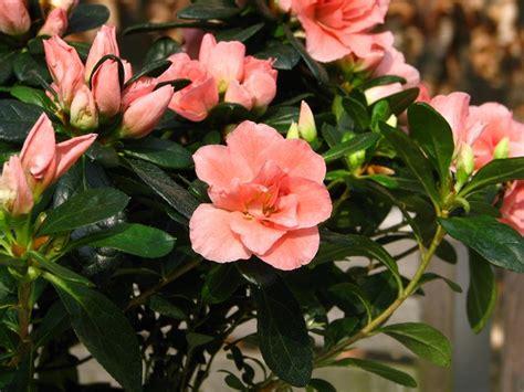 azalea vaso azalea da interno azalea indica azalea indica piante