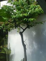 Bibit Jambu Air Coklat dunia tanaman tanaman buah tanaman hias