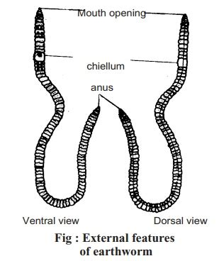 earthworm dissection classification earthworm classification external features digestive system method of dissection study