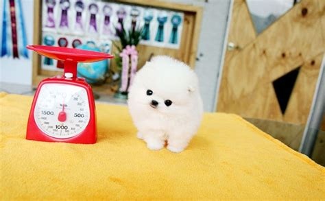 teacup pomeranian chicago 94 best the of white pomeranian images on animal babies baby